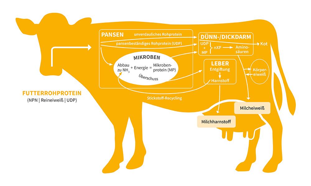 CNCPS - Schaubild Verdauung Kuh inkl. Pansen, Leber etc. - Sano Labor