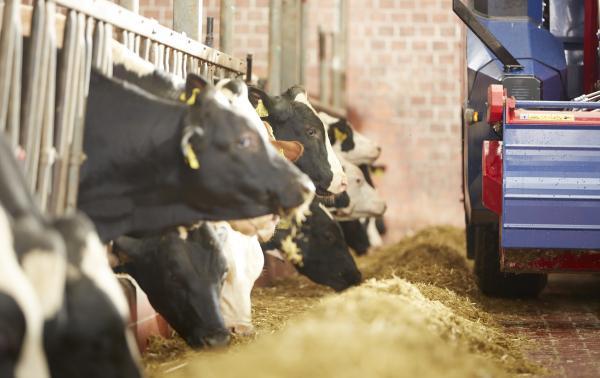 Kühe im Stall am Futtertisch. Sano Labor
